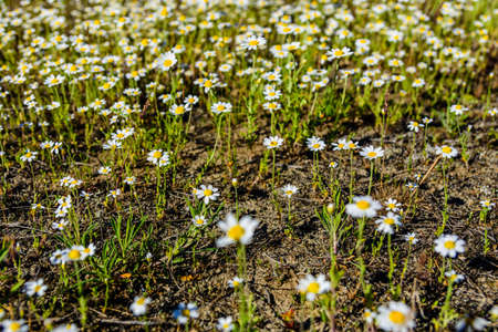 Wild chamomile flowers blooming on the meadow