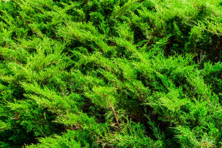 Background of evergreen juniper bushes. Natural pattern