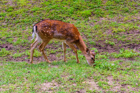 Young white tail deer (Odocoileus virginianus) grazing on meadow