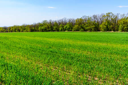 View on field with young green wheat