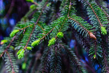Closeup of young twigs of fir tree at spring