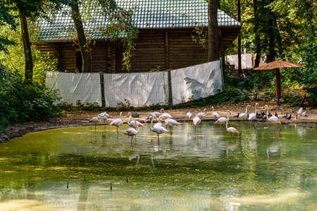 Flamingo birds (Phoenicopterus) standing in the water Banco de Imagens