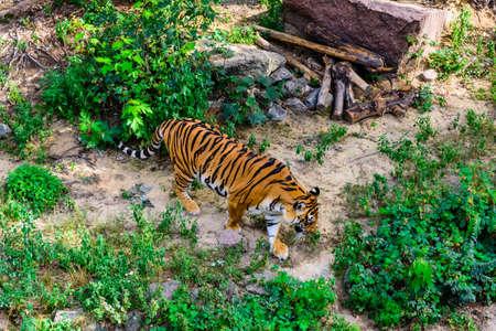 Big striped tiger (Panthera tigris) walking among green vegetation