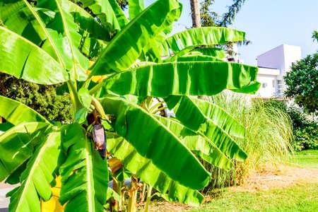 Banana tree growing at the city park