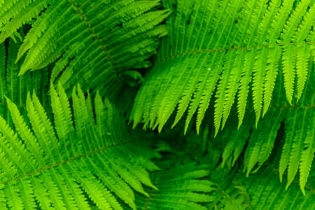 Background of green fern. Top view. Natural pattern