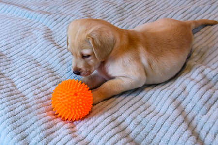 Young purebred puppy of labrador retriever playing with ball