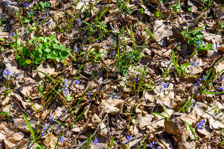 Blue scilla flowers in a forest on spring