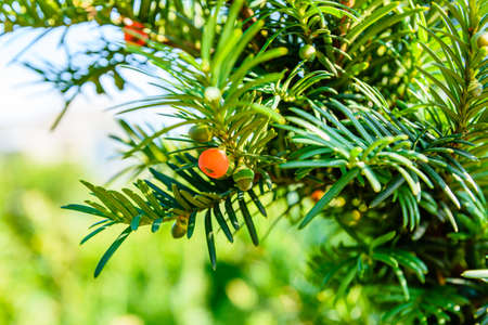 Yew tree (taxus baccata) with ripe berries at summer