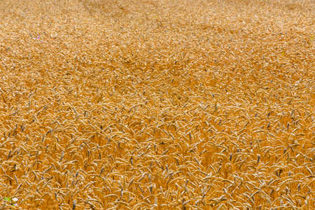 Backdrop of the ripe wheat. Agricultural concept