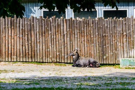 Antelope nilgai (Blue bull, Boselaphus tragocamelus) in corral Stockfoto