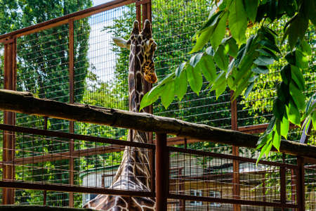 Adult giraffe (Giraffa camelopardalis) in a corral