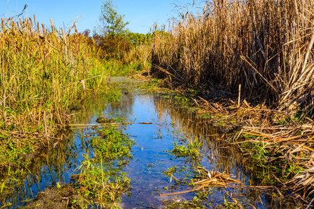 Bulrush plants in a swamp on summer Stockfoto
