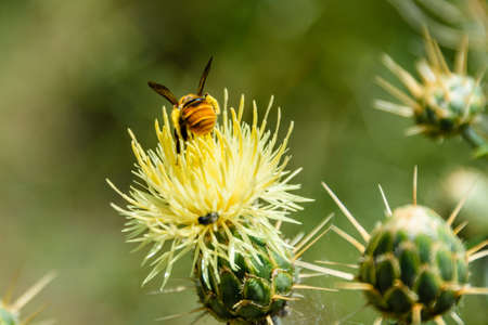 Honey bee collecting nectar from flower of thistle plant Stockfoto