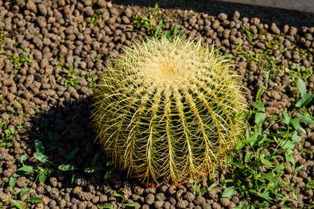 Big green cactus growing in a garden Stockfoto