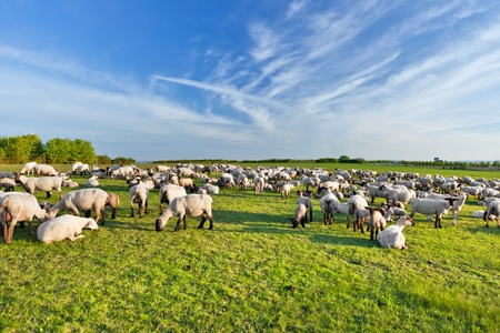 A summer landscape and herd sheep photo