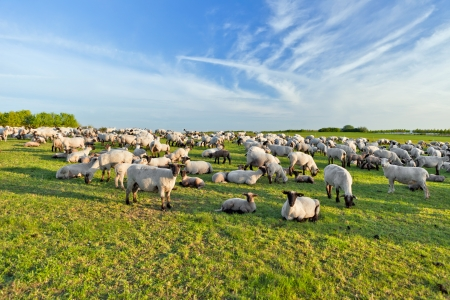 in herding: A summer landscape and herd sheep