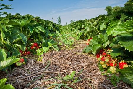 Closeup of fresh organic strawberries Stock Photo