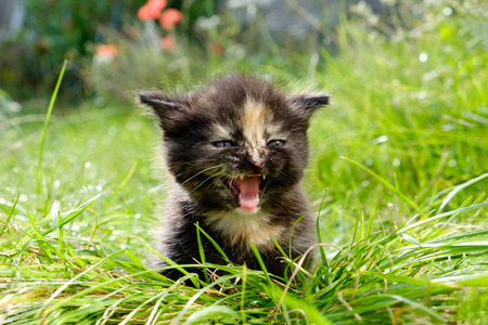 babies: adorable meowing tabby kitten outdoors Stock Photo