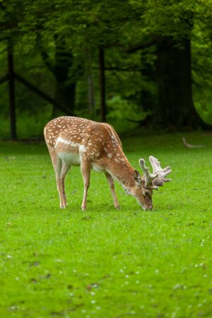 Young whitetail deer grazing on with a park in background Stok Fotoğraf