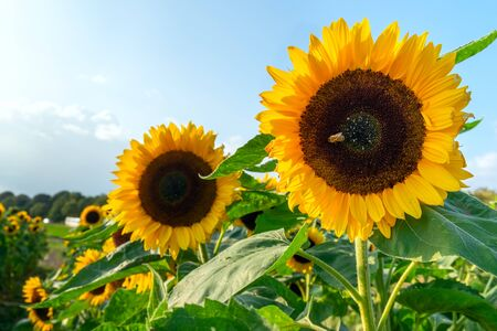 A field with decorative sunflower with orange flowers. Lower Saxony, Germany Banque d'images - 130543922