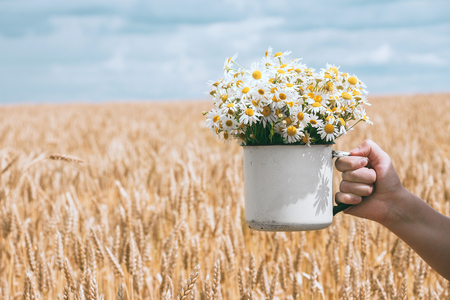Bouquet of daisies in his hand. Golden wheat field. Summer picturesque landscape.