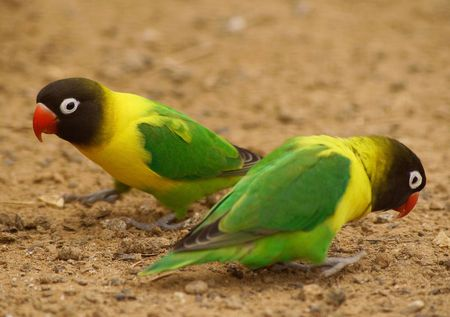 1. parrot    2. poll-parrot    3. popinjay Stock Photo - 5763972