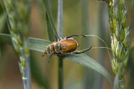escarabajo: Escarabajo