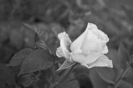spiralling: rose