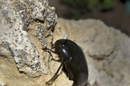 chitin: dytiscidae