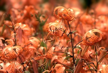 syn: Tiger lilies in a garden. Lilium lancifolium (syn. L. tigrinum) is one of several species of orange lily flower to which the common name Tiger Lily is applied.