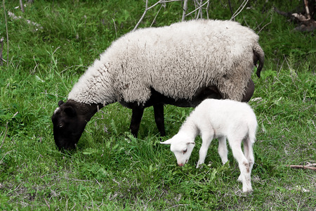 yeanling: A sheep (ewe) and white lamb (yeanling, eanling, cade) pasturing on a meadow with green grass