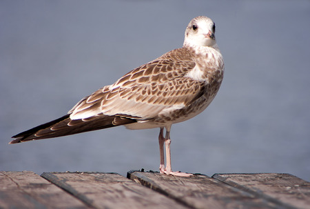 larus: Young Common gull (Larus canus) close up.