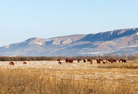Winter landscape with farmland, meadow covered by dry grass and snow, grazing cows herd and mountains with blue sky . Shot was done at the southern part of Russia. photo
