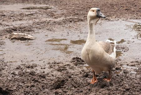 Portrait of a grey goose at a farm closeup. photo