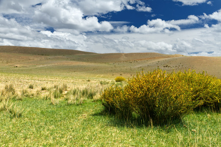 russia steppe: The summer Altai landscape (Russia): steppe covered by partially dry grass (some plants), a bush with yellow flowers as a foreground. Hills and blue sky with clouds