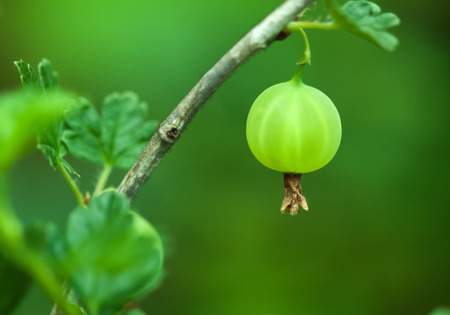 gooseberry bush: Nature environmental agricultural ecology image: green gooseberry berry closeup growing in a vegetable garden on the bush branch surrounded by leaves with green blurred . Can be used as a wallpaper.