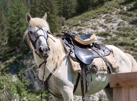 Rideable saddled and bridled white horse, standin tied. Shot was done in the Altai region (Russia). photo