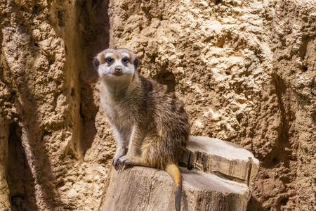Portrait of meercat  (suricata suricatta) sitting on stump in a zoological garden.