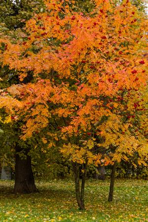 Árbol de la ceniza de montaña en un parque por un día de otoño con las hojas y la hierba amarillas, verdes y rojas cubiertas por follaje. Foto de archivo