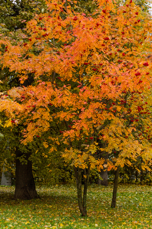 Frassino della montagna in un parco entro un giorno di autunno con le foglie gialle, verdi e rosse ed erba coperta da fogliame. Archivio Fotografico