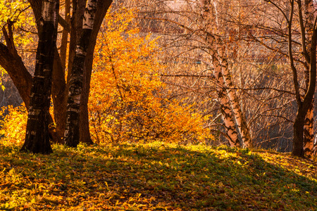 Maple and birch trees in a park by an autumn day with yellow, green and red leaves and grass around covered by foliage.