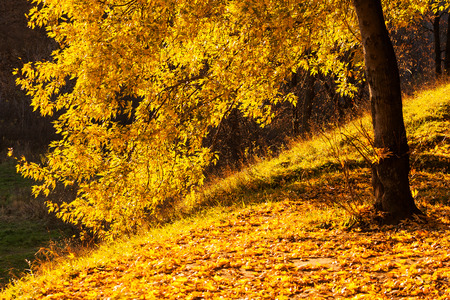 Maple  tree in a park by an autumn day with yellow, green and red leaves and grass around covered by foliage.