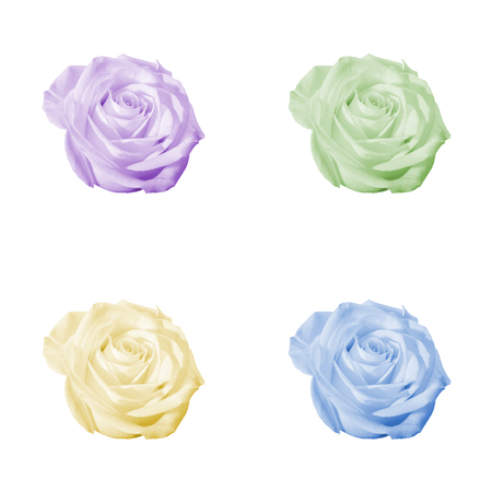 Floral pattern or background: set of four decorative colored (light purple, violet, green, yellow, blue) flowers - roses - closeup (close up) isolated on white backdrop.