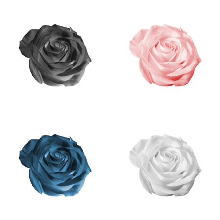 Floral pattern or background: set of four decorative colored (white, black, pink, red, blue) flowers - roses - closeup (close up) isolated on white backdrop.