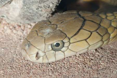 Russel viper - poisonous snake, is in the terrarium  Stock Photo