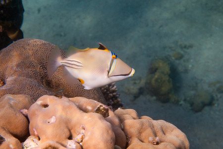 triggerfish: Rhinecanthus Picasso or Black Bar Triggerfish is underwater in Red sea Stock Photo