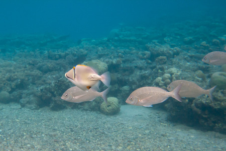 Rhinecanthus or Black Bar Trigger fish is underwater in Red sea photo