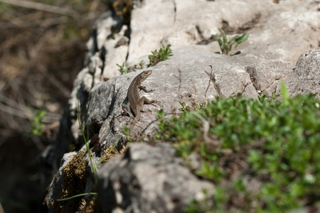 The lizard is basking on rock during sunny day photo