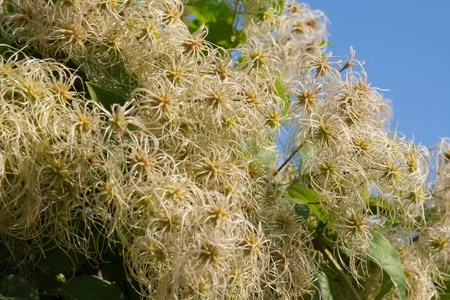 villi: Fruits clematis against the blue sky