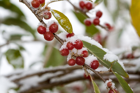 Ripe Autumn Olive Berries (Elaeagnus Umbellata) growing on a branch are under snow. oleaster